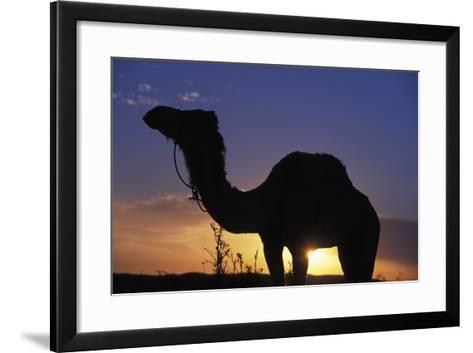 Silhouetted Camel at Sunset-Design Pics Inc-Framed Art Print