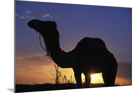Silhouetted Camel at Sunset-Design Pics Inc-Mounted Photographic Print
