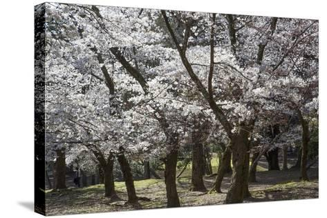Cherry Trees in Full Bloom in Nara Park-Macduff Everton-Stretched Canvas Print