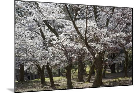 Cherry Trees in Full Bloom in Nara Park-Macduff Everton-Mounted Photographic Print