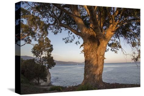A Eucalyptus Tree Overlooking the Santa Barbara Channel-Macduff Everton-Stretched Canvas Print