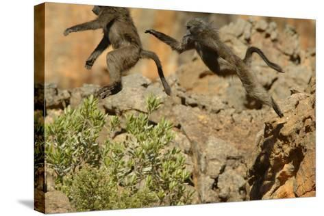 Two Baboons Leaping in Cederberg Wilderness Area, South Africa-Keith Ladzinski-Stretched Canvas Print
