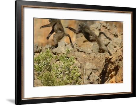 Two Baboons Leaping in Cederberg Wilderness Area, South Africa-Keith Ladzinski-Framed Art Print