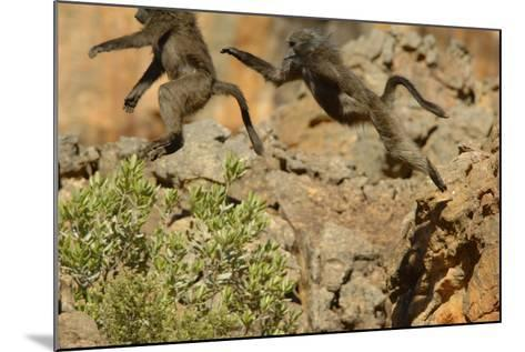 Two Baboons Leaping in Cederberg Wilderness Area, South Africa-Keith Ladzinski-Mounted Photographic Print