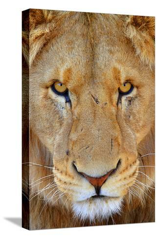Portrait of an African Male Lion with Scars, in South Africa-Keith Ladzinski-Stretched Canvas Print