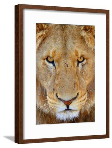 Portrait of an African Male Lion with Scars, in South Africa-Keith Ladzinski-Framed Art Print