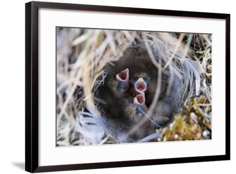 Closeup of Lapland Longspur Chicks-Design Pics Inc-Framed Art Print