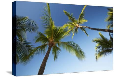Hawaii, Lanai, Hulope Beach, Plam Trees from Below-Design Pics Inc-Stretched Canvas Print