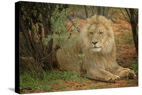 A Male Lion in the Cederberg Wilderness Area, South Africa-Keith Ladzinski-Stretched Canvas Print