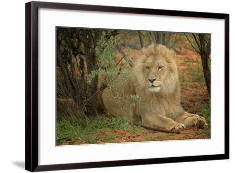 A Male Lion in the Cederberg Wilderness Area, South Africa-Keith Ladzinski-Framed Art Print