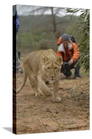 A Captive Lioness Approaches the Camera in South Africa-Keith Ladzinski-Stretched Canvas Print