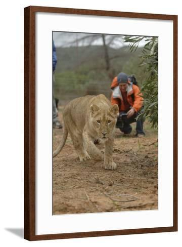 A Captive Lioness Approaches the Camera in South Africa-Keith Ladzinski-Framed Art Print