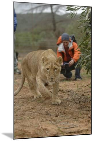 A Captive Lioness Approaches the Camera in South Africa-Keith Ladzinski-Mounted Photographic Print