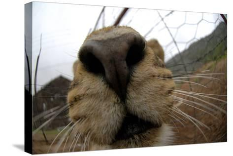 Close Up of a Lioness' Nose and Mouth, South Africa-Keith Ladzinski-Stretched Canvas Print