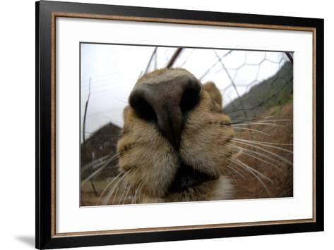Close Up of a Lioness' Nose and Mouth, South Africa-Keith Ladzinski-Framed Art Print