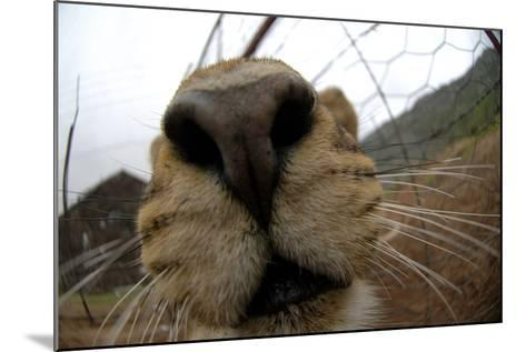 Close Up of a Lioness' Nose and Mouth, South Africa-Keith Ladzinski-Mounted Photographic Print