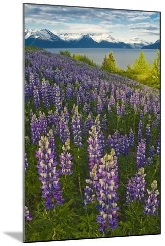 Scenic View of Turnagain Arm and Chugach Mountains Near Bird Point with Lupine Meadow-Design Pics Inc-Mounted Photographic Print