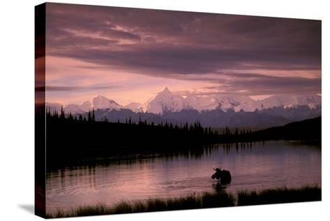 Alaska Range Moose Bull Wonder Lake Denali Natl Park Interior Alaska Summer Trees Snow-Design Pics Inc-Stretched Canvas Print