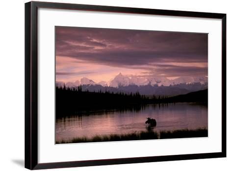 Alaska Range Moose Bull Wonder Lake Denali Natl Park Interior Alaska Summer Trees Snow-Design Pics Inc-Framed Art Print