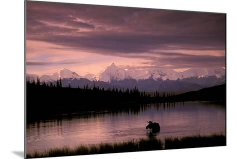 Alaska Range Moose Bull Wonder Lake Denali Natl Park Interior Alaska Summer Trees Snow-Design Pics Inc-Mounted Photographic Print