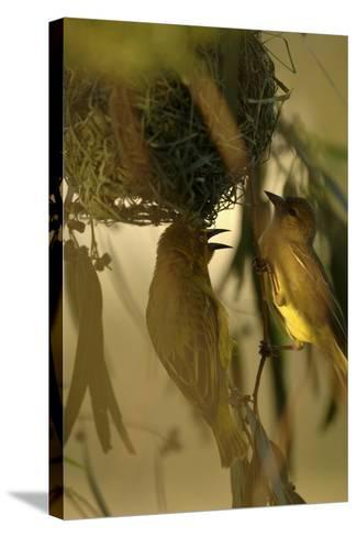Cape Weaver Birds Building a Nest in South Africa-Keith Ladzinski-Stretched Canvas Print