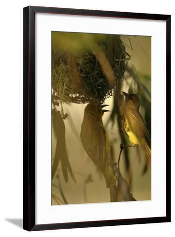 Cape Weaver Birds Building a Nest in South Africa-Keith Ladzinski-Framed Art Print