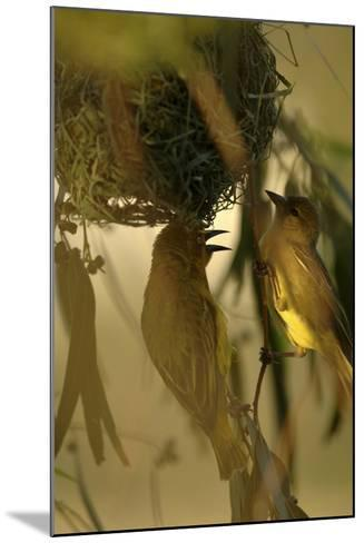 Cape Weaver Birds Building a Nest in South Africa-Keith Ladzinski-Mounted Photographic Print