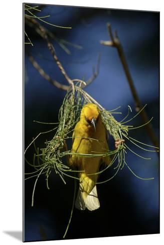 A Cape Weaver Bird Builds a Nest in South Africa-Keith Ladzinski-Mounted Photographic Print