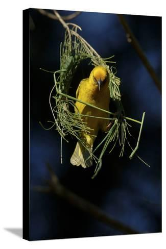 A Cape Weaver Bird Builds a Nest in South Africa-Keith Ladzinski-Stretched Canvas Print