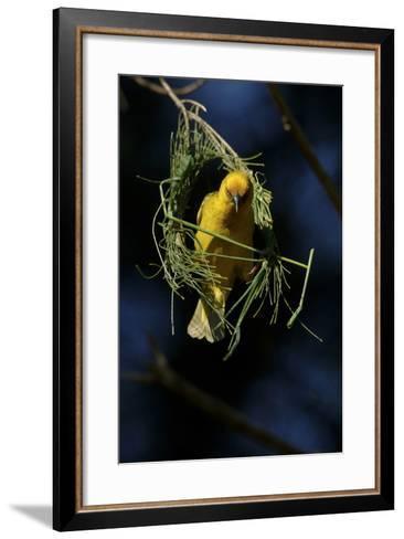 A Cape Weaver Bird Builds a Nest in South Africa-Keith Ladzinski-Framed Art Print