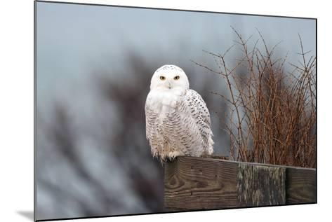 A Snowy Owl, Bubo Scandiacus, Perches on a Fence and Scans the Winter Landscape-Robbie George-Mounted Photographic Print