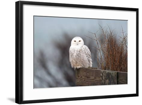 A Snowy Owl, Bubo Scandiacus, Perches on a Fence and Scans the Winter Landscape-Robbie George-Framed Art Print