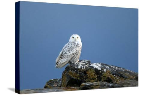 A Snowy Owl, Bubo Scandiacus, Perches on a Rock and Scans the Winter Landscape-Robbie George-Stretched Canvas Print