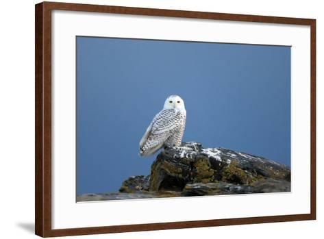 A Snowy Owl, Bubo Scandiacus, Perches on a Rock and Scans the Winter Landscape-Robbie George-Framed Art Print