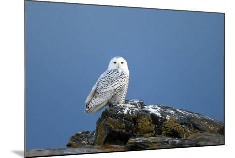 A Snowy Owl, Bubo Scandiacus, Perches on a Rock and Scans the Winter Landscape-Robbie George-Mounted Photographic Print