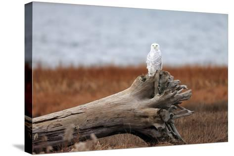 A Snowy Owl, Bubo Scandiacus, Perches on a Tree Stump on the Coast of Maine-Robbie George-Stretched Canvas Print