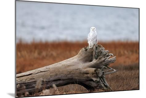 A Snowy Owl, Bubo Scandiacus, Perches on a Tree Stump on the Coast of Maine-Robbie George-Mounted Photographic Print