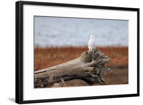 A Snowy Owl, Bubo Scandiacus, Perches on a Tree Stump on the Coast of Maine-Robbie George-Framed Art Print