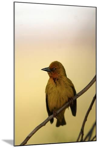 Close Up of a Cape Weaver Bird in South Africa-Keith Ladzinski-Mounted Photographic Print
