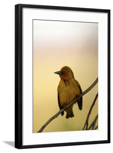Close Up of a Cape Weaver Bird in South Africa-Keith Ladzinski-Framed Art Print