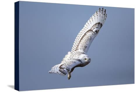 A Snowy Owl, Bubo Scandiacus, Flies over the Wintry Coast of Maine-Robbie George-Stretched Canvas Print