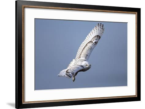 A Snowy Owl, Bubo Scandiacus, Flies over the Wintry Coast of Maine-Robbie George-Framed Art Print