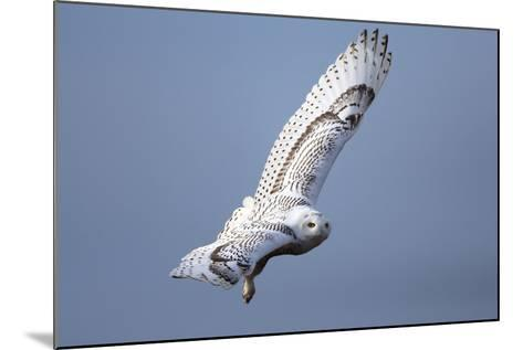A Snowy Owl, Bubo Scandiacus, Flies over the Wintry Coast of Maine-Robbie George-Mounted Photographic Print