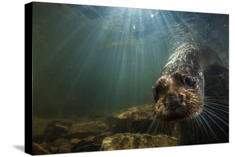 A Female Otter Swims in a River in Western England-Charlie Hamilton James-Stretched Canvas Print
