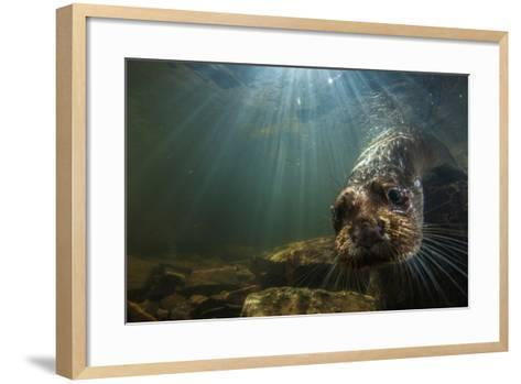 A Female Otter Swims in a River in Western England-Charlie Hamilton James-Framed Art Print