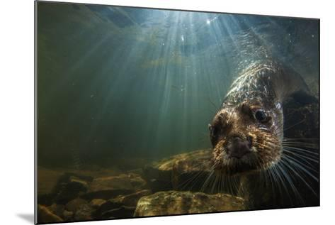 A Female Otter Swims in a River in Western England-Charlie Hamilton James-Mounted Photographic Print