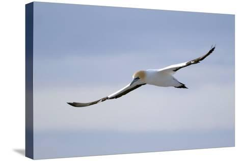 A Cape Gannet in Flight, South Africa-Keith Ladzinski-Stretched Canvas Print