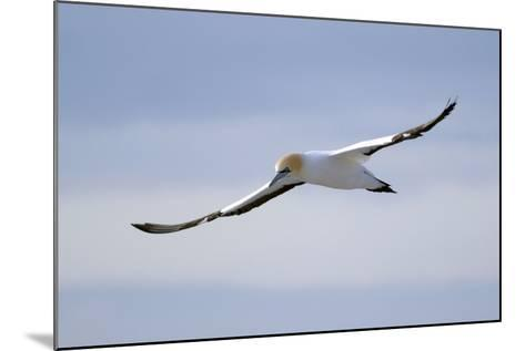 A Cape Gannet in Flight, South Africa-Keith Ladzinski-Mounted Photographic Print