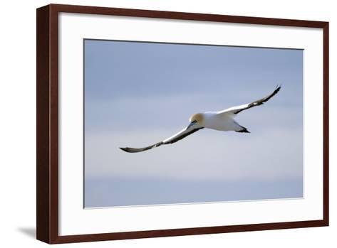 A Cape Gannet in Flight, South Africa-Keith Ladzinski-Framed Art Print