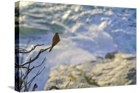 A Raptor on the Coast, Cape Town, South Africa-Keith Ladzinski-Stretched Canvas Print